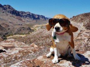 Angie the beagle