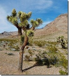 Joshua Trees along Gold Butte Back Country Byway