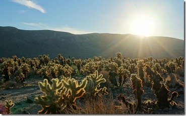 Chollas backlit by the setting sun