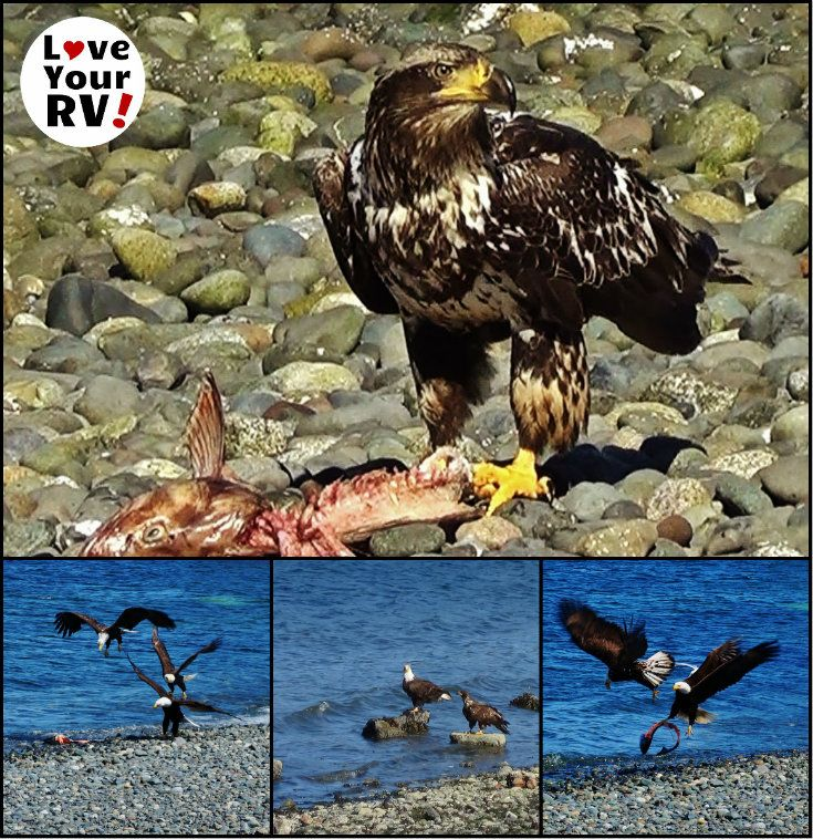 Incredible Bald Eagle Viewing on Vancouver Island BC - http://www.loveyourrv.com/