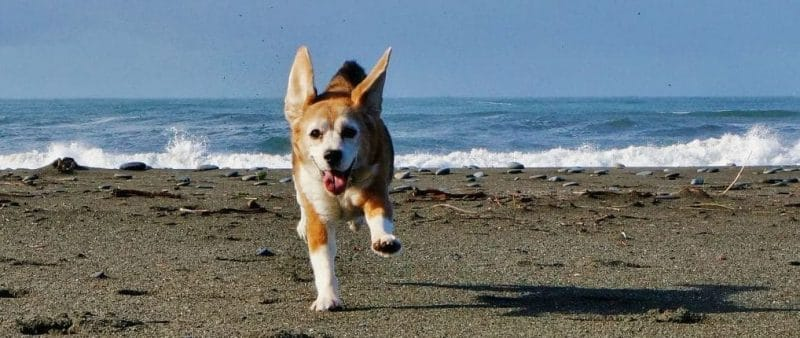 Angie the beagle romps at Turtle Rock Oregon