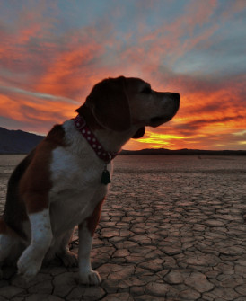 Dog at sunrise in Anza-Borrego State Park, California