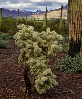 Chain Fruit Cholla in Organ Pipe NM