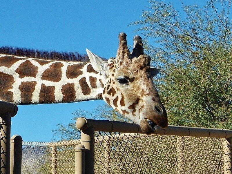 Feeding Giraffes Living Desert