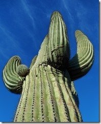 These Saguaro are big!