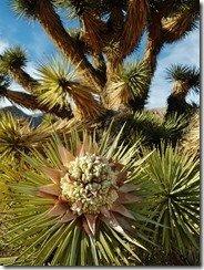 Joshua Tree in bloom
