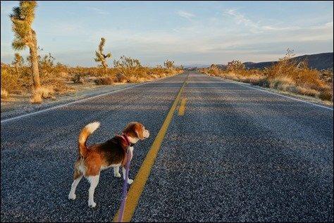 Morning beagle walk Joshua Tree