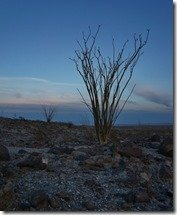 Ocotillo At Dusk