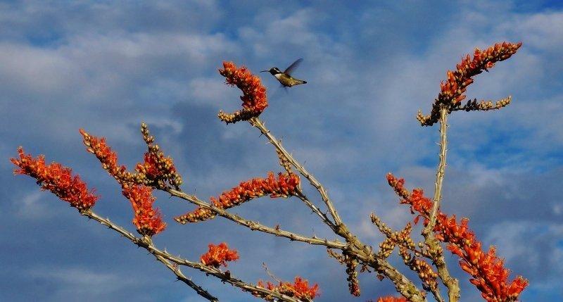 Hummingbird in Saquaro NP