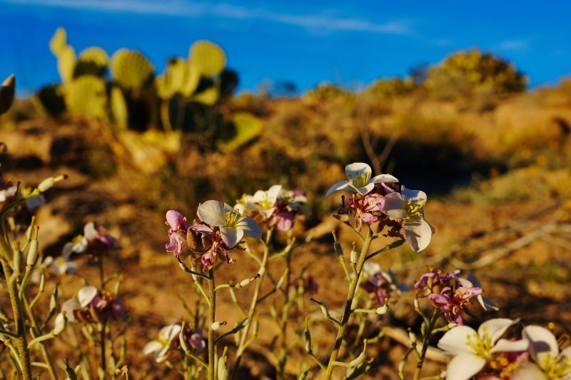 Wild flowers in Big Bend NP