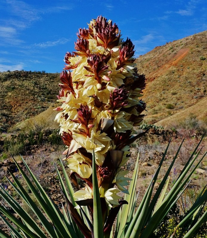 Gorgeous Yucca  Flower