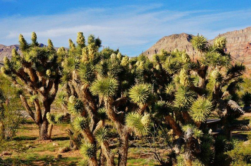 Joshua Trees in full bloom Virgin River Gorge Arizona