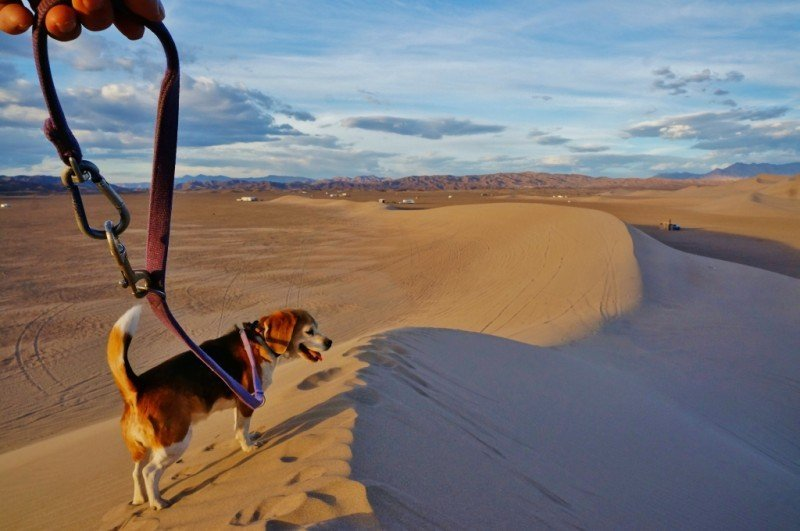 Dog walk on the dunes