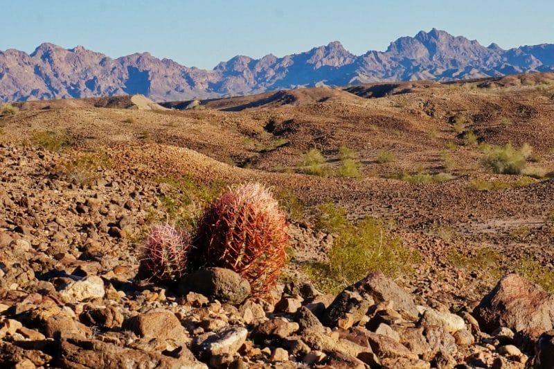 Barrel Cactus Cibola