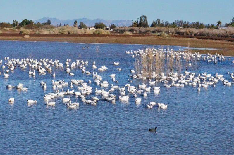 Snow Geese at Cibola