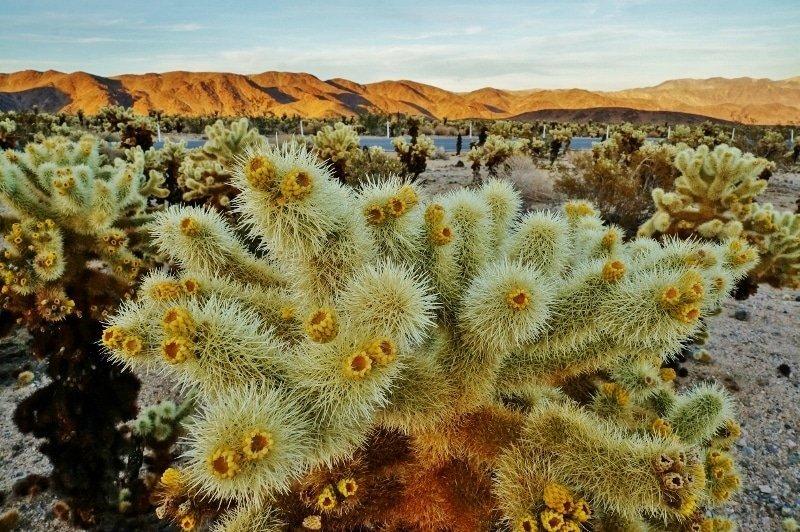 Teddy Bear Cholla Cactus Garden at Joshua Tree NP