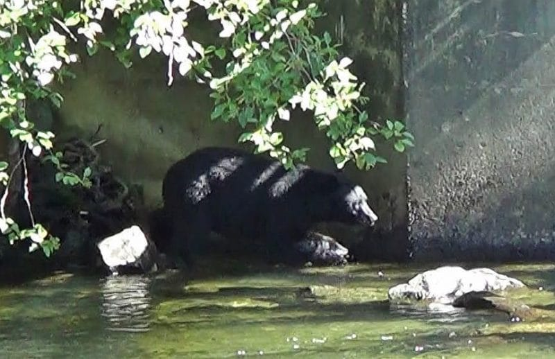 Quinsam Bear