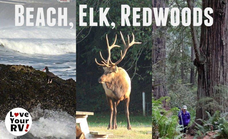 Beach Elk Redwoods
