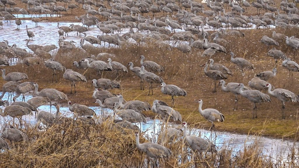 Sand hill Cranes Whitewater Draw