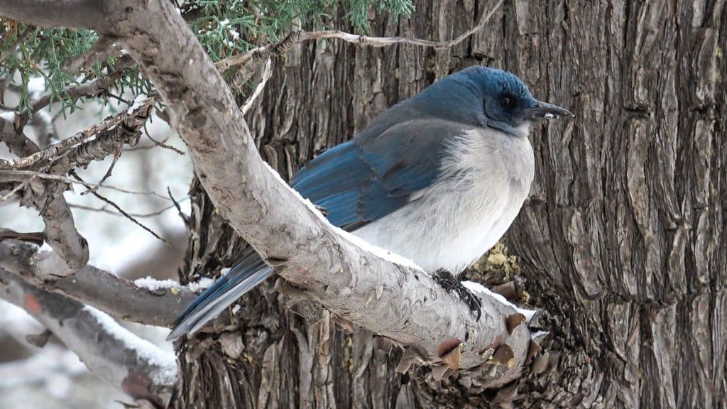Mexican Jay Bird