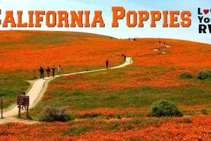 Antelope Valley Poppies Feature Photo
