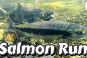 Goldstream Park Salmon Run Feature Photo