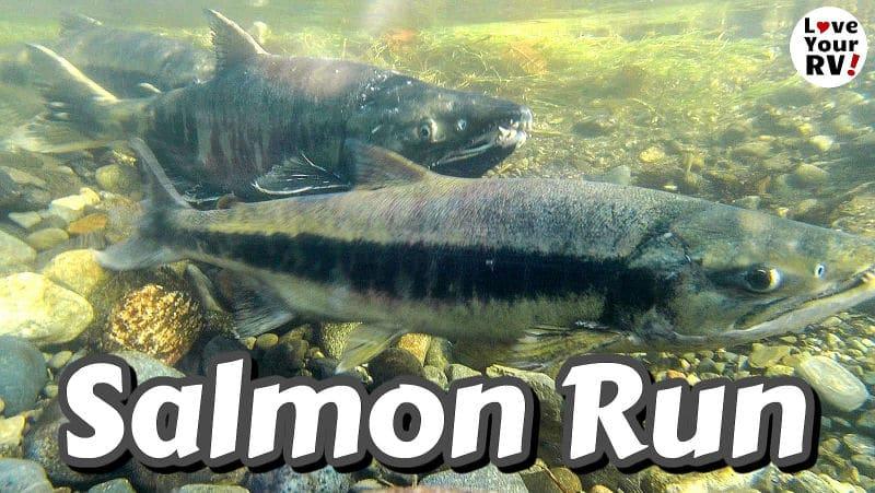 Goldstream Park Salmon Run Feature Photo