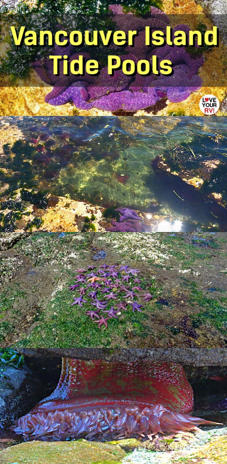 Tide Pool Exploring at Willow Point Reef on Vancouver Island near Campbell River British Columbia Canada