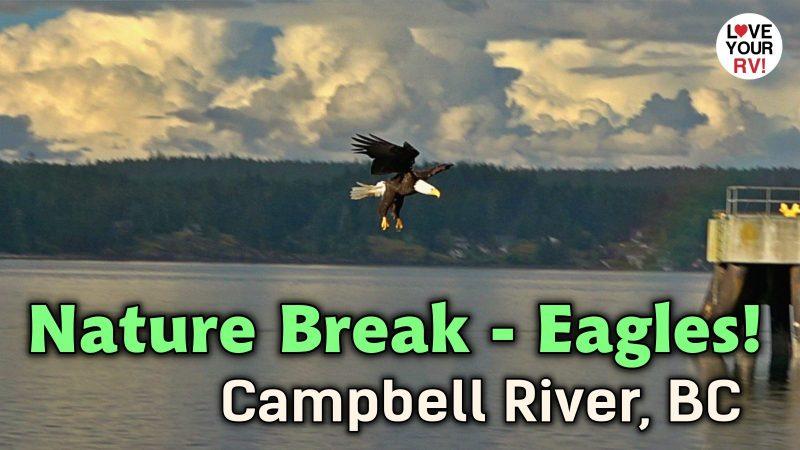 Nature Break - Bald Eagles - Campbell River BC